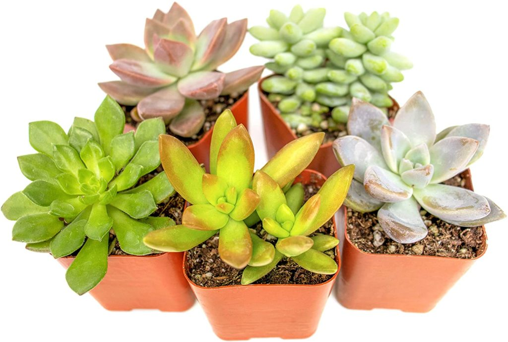 succulents for mother's day gift ideas