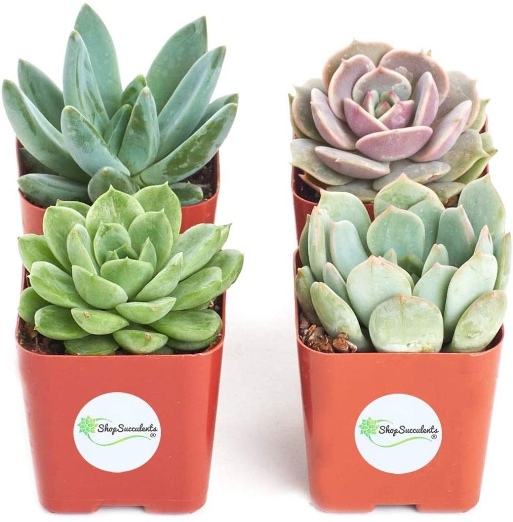 four mini succulent plants